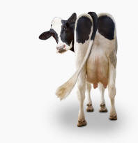 Funny Cow Pics - stock photo of cow's rear-end - Holstein Cow Photos