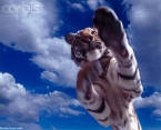 Concept stock photo of a jumping tiger.
