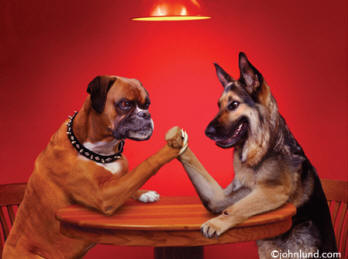 Greeting Card stock photo of a bulldog arm wrestling with a german shepard, a very funny animal picture