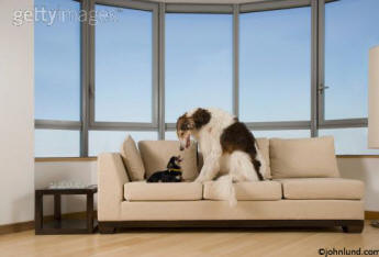 background picture for advertising - two dogs seeing eye to eye on a couch or sofa