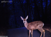 Picture of a deer in the headlights - a concpet stock photo
