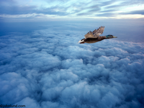 Duck flying above the clouds at a very high altitude it is late