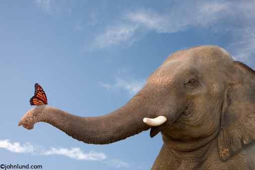 Pictures Of An Elephant With A Butterfly Perched On His Trunk In A Funny  Picture About