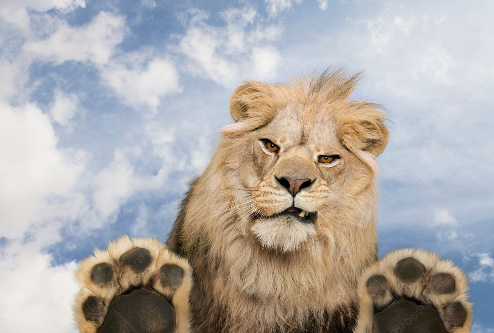 An angry lion snarls down at the viewer between his feet in a stock photo with a unique perspective of a viewer truly at the big cat's mercy!