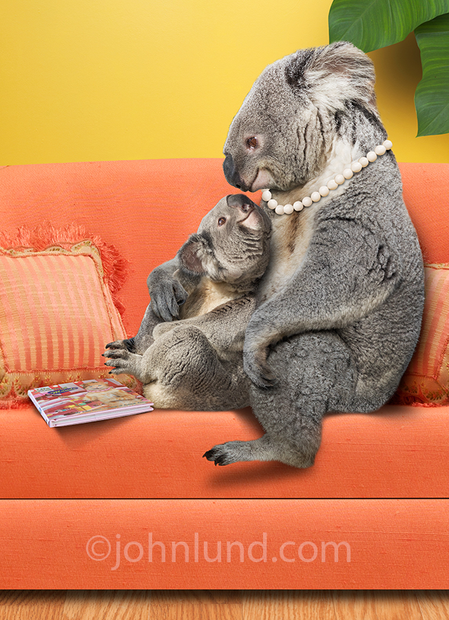 A koala baby snuggles with her mother in an adorable anthropomorphic humorous image from our Animal Antics collection.