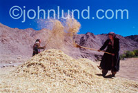 Picture of a Tibetan woman winnowing barley high int the Himalayan Mountains. Women of Tibetan ancestry separate the barley grain from the chaff (winnowing) high in the Himalayan Mountains of Ladakh.