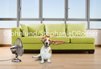 A cute Basset Hound is blowing in the breeze of an electric fan on what must be a very hot day in this funny dog picture.