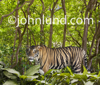 In this picture a Bengal Tiger pauses and looks into the camera as he prowls slowly through the jungle foliage.