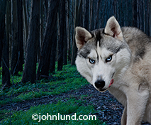 The big bad wolf of little red riding hood fame appears in the woods with and evil look on his face in this humorous conceptual stock photo.