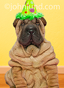 A Shar Pei puppy wears a party hat and looks dryly at the camera in a funny stock photo and birthday greeting card image.