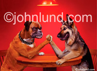 Funny animal picture and stock photo of two dogs arm wrestling at a table. An animal antics photo. Hilarious Arm Wrestling Dogs, a German Shepard and a Boxer Fight It Out.