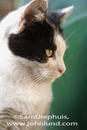 Close up picture of a typical house cat, white with black spots.  Side view profile of a black and white cat. The feline is looking intensly at something. A truly focused cat.  Pet pictures for advertising of felines.