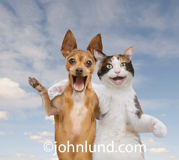 A cat and dog, a Calico and Chihuahua, smile as they stand arm over shoulder in a display of friendship and togetherness in a humorous stock photo.