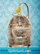 An annoyed looking cat is stuffed into a bird cage while a canary stands perched atop in a funny greeting card photo that can also illustrate stock photo concepts such as humor, freedom and challenge.