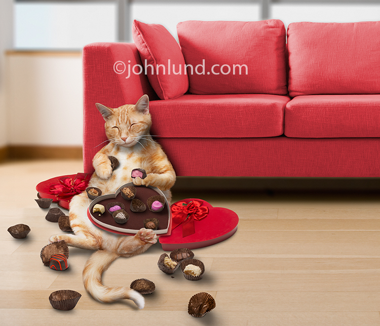 A Funny, Happy And Fat Cat Has Stuffed Himself With Valentine Day  Chocolates From Heart