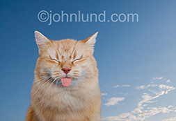 A cat closes its eyes and sticks its tongue out in a display of displeasure at some unseen stimulus in this funny stock photo intended for advertising, editorial and greeting card uses.