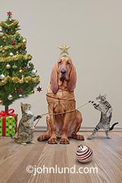 A bloodhound is decorated by kittens in this Holiday Funny Animal Picture of the kitties decorating a dog with Xmas ornaments.  Dog and cat pictures