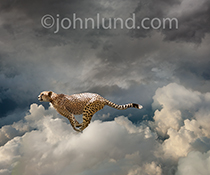 Fast cloud computing is the message in this stock photo of a cheetah sprint through the cloud.