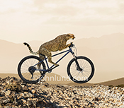 In this funny Cheetah photo the big cat rides a bicycle over rough terrain in an image about speed and the unexpected.