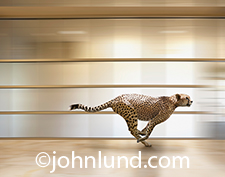 A cheetah races through the corridors of an office in an image illustrating the concept of speed in business.