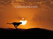 A Cheetah is silhouetted against a setting sun as it sprints across sand dunes in a metaphor for speed and agility.