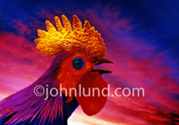 A colorful rooster crows as dawn breaks in this stock photo. This image is about getting started, getting an early start, and waking up!