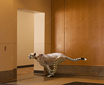 Business speed is the primary ideas behind this corporate cheetah stock photo of the fast cat sprinting through an office lobby.