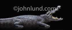 Profile studio photo of a Crocodile with its mouth wide open, shot on a shiny black background and rich in texture and detail.
