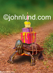 Picture of a turtle carrying birthday gifts on its back including a cupcake with a lit candle on it...must be a belated birthday wish!