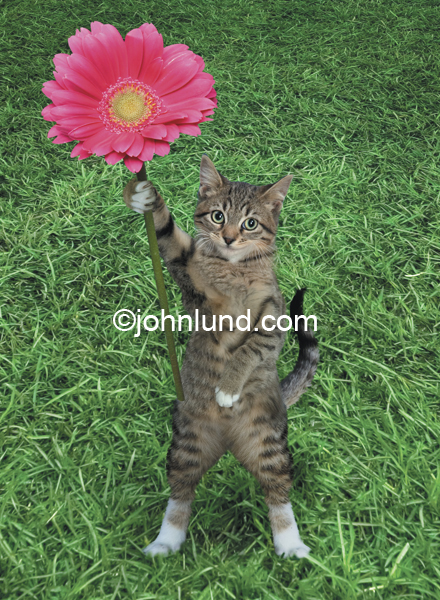 Funny picture of a kitten holding a flower. This funny cat picture shows a cut little gray tabby holding up a flower. He is standing on his two rear legs on a lush green lawn. The flower the cat is holding over his head is bright red.