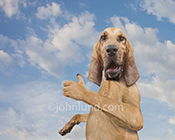 Dog...giving us the thumbs up in funny dog photo featuring an anthropomorphic Bloodhound who is feeling good!