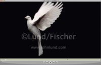 Video of a pair of hands releasing a white dove in a symbolic gesture of peace and freedom (Super Slow Motion Video).