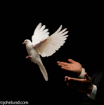 A pair of hands release a white dove into flight against a black background symbolizing peace and freedom in this picture of flight.