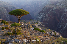 Dragon Blood Trees stand before a deep ravine in the Homhil protected area of Socotra Island off the coast of Yemen.