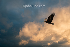 A majestic eagle flies above sunset colored skies in an image about freedom, success and vision.