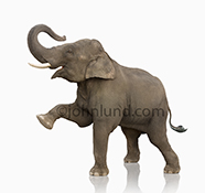 An elephant lifts one foreleg as it stands on a white background in a stock photo about strength, power, size and other elephant issues and symbology