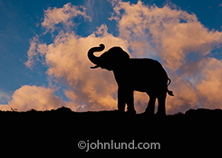 Image of a silhouetted elephant against a sunset sky in an image about power, strength and the drama of nature.