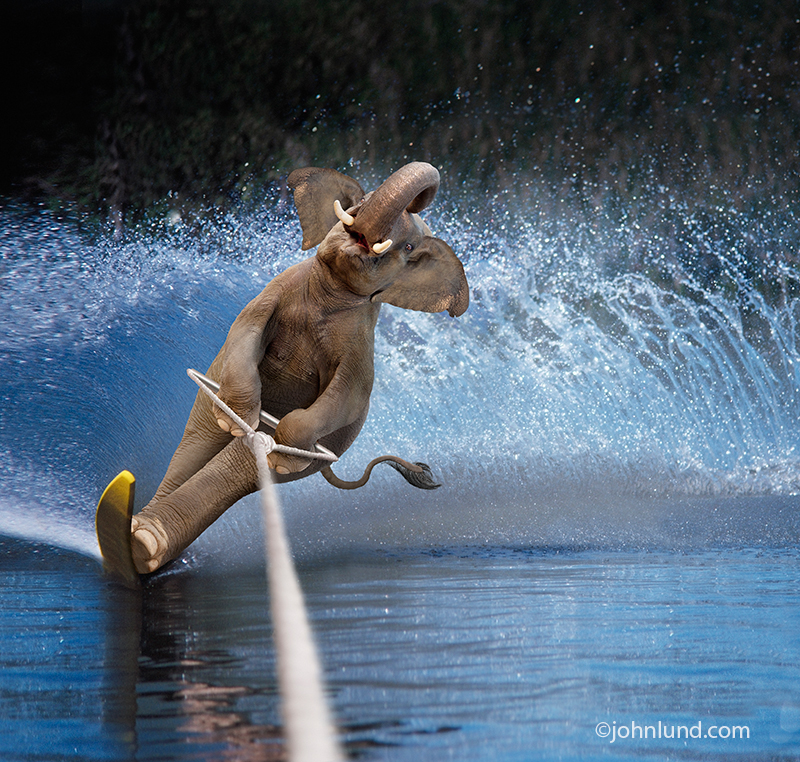 An elephant uses a slalom ski kicking up a high spray of water as he carves through still lake water in this funny elephant picture.