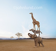 Safari Animals: a giraffe stands on a zebra's back as the zebra stands on an elephant's back in a funny safari animal teamwork stock photo.