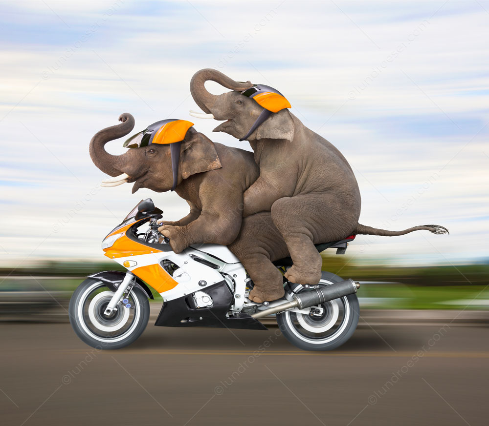 Two elephants ride a motorcycle together in a stock photo about the unexpected and a humorous greeting card image about love, togetherness and adventure.