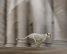 Fast cash, cash flow, and quick loans are all illustrated in this stock photo of a speeding cheetah merge with dollar bills against a wall street looking background of stone pillars.