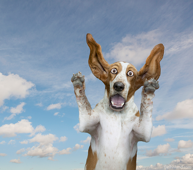 A Basset hound wears an astonished expression, ears flying and paws up, in this funny dog photo.