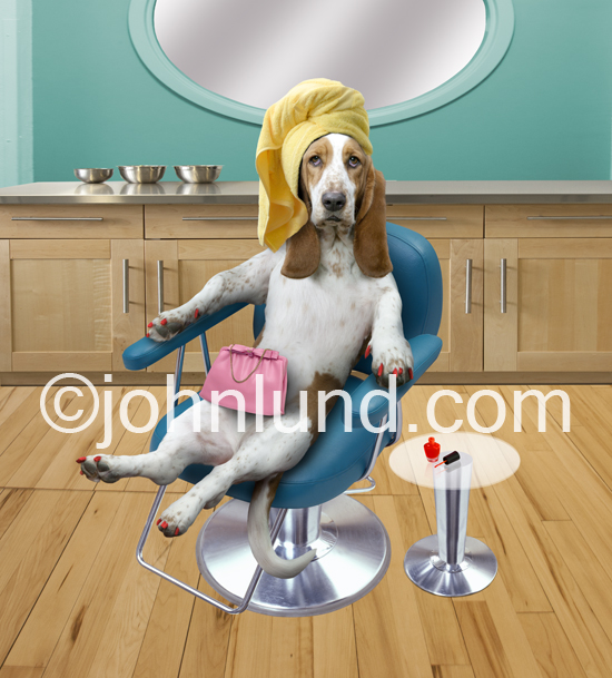 Funny Basset Hound at the beauty Parlour