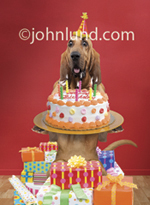 Happy birthday wishes are here in this funny picture of a Bloodhound wearing a birthday hat, holding a birthday cake with candles and standing in a pile of gifts.