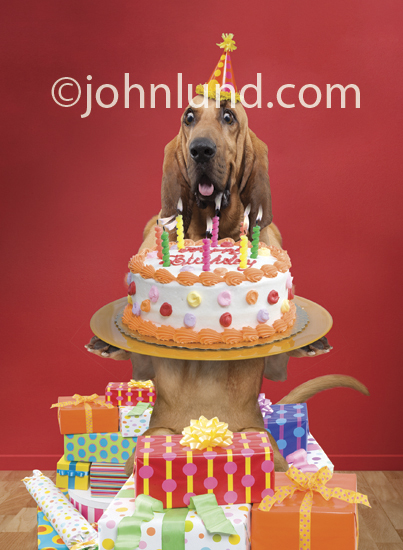 Funny bloodhound with birthday cake and pile of gifts publicscrutiny Image collections