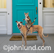 In this funny pet picture a cat sits astride a saddle on top of a dog holding the reins and with a sly grin on his face.