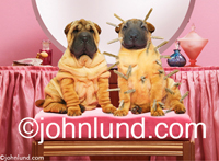 Funny and cute animal picture of two Charpei puppies, one wrinkled and the other with his wrinkles eliminated by clothespins...ouch! Really funny pet dog pictures.