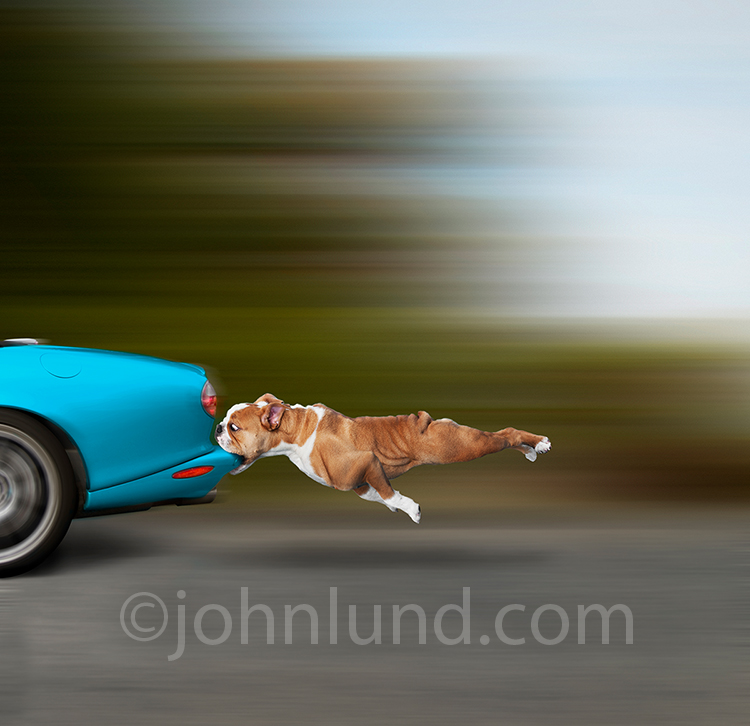Dogs catches car without exit strategy (stock photo)