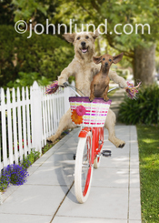 Picture of two Dogs, A Dachshund and a Mutt, ride a bicycle down the sidewalk in a funny pet picture.