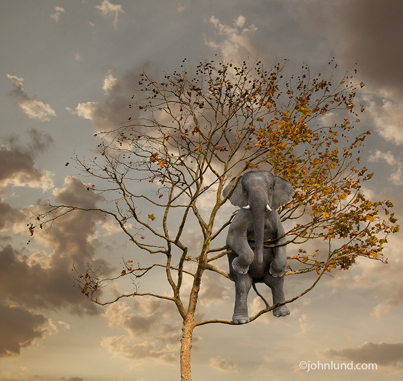 Funny pictures of elephants: An elephant hides in a tree at sunset, but is clearly visible!